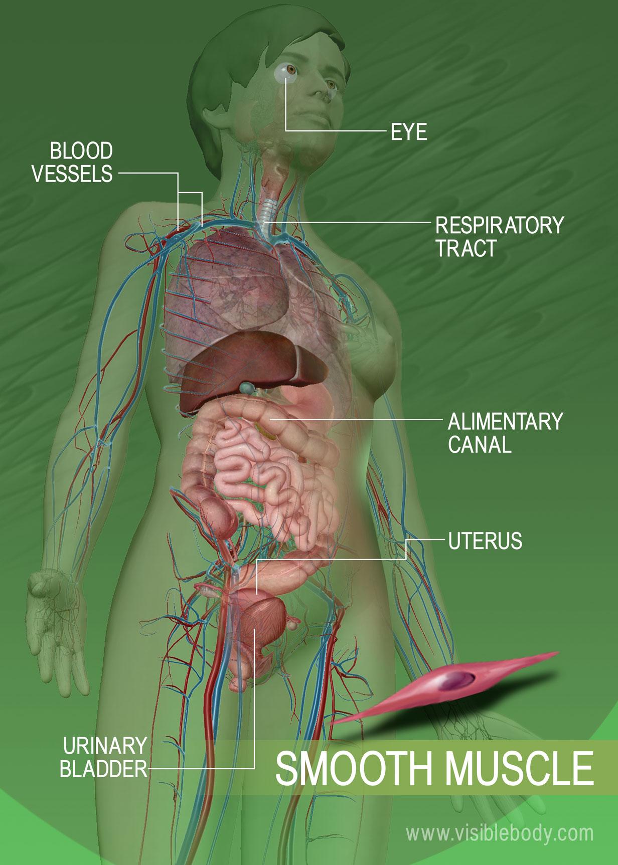 Smooth Muscle Organs Diagram - Wiring Diagram •