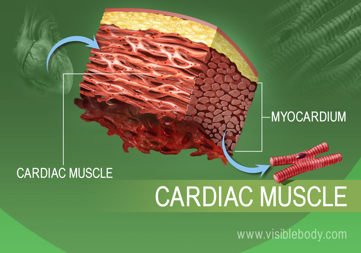Close up of cardiac muscle tissue in the human body