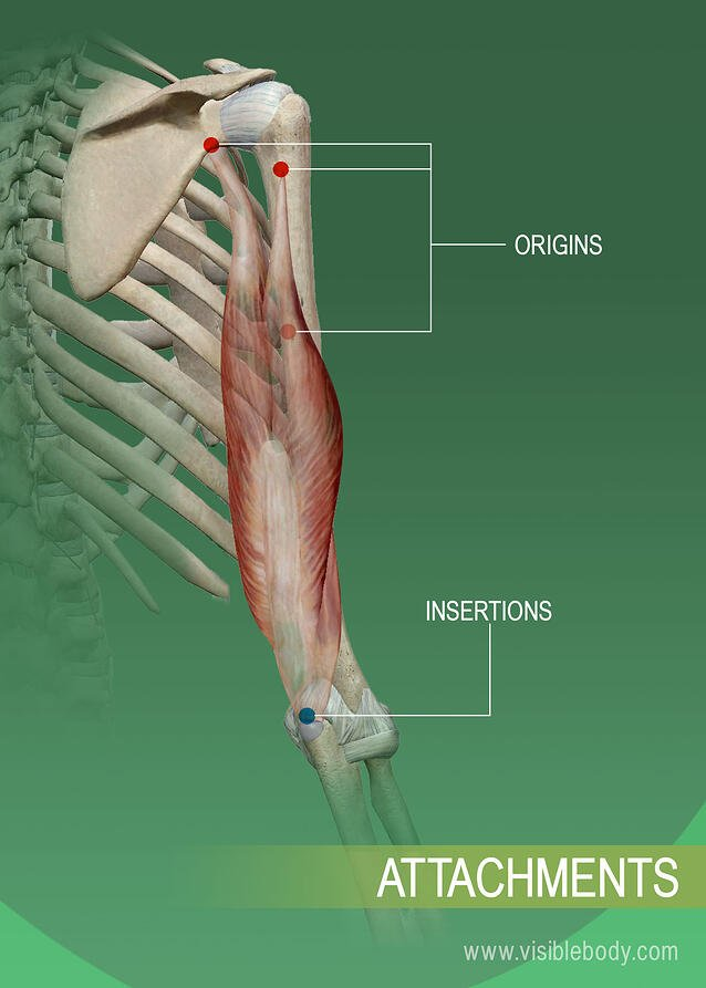 Origins and insertions of a muscle on the bone