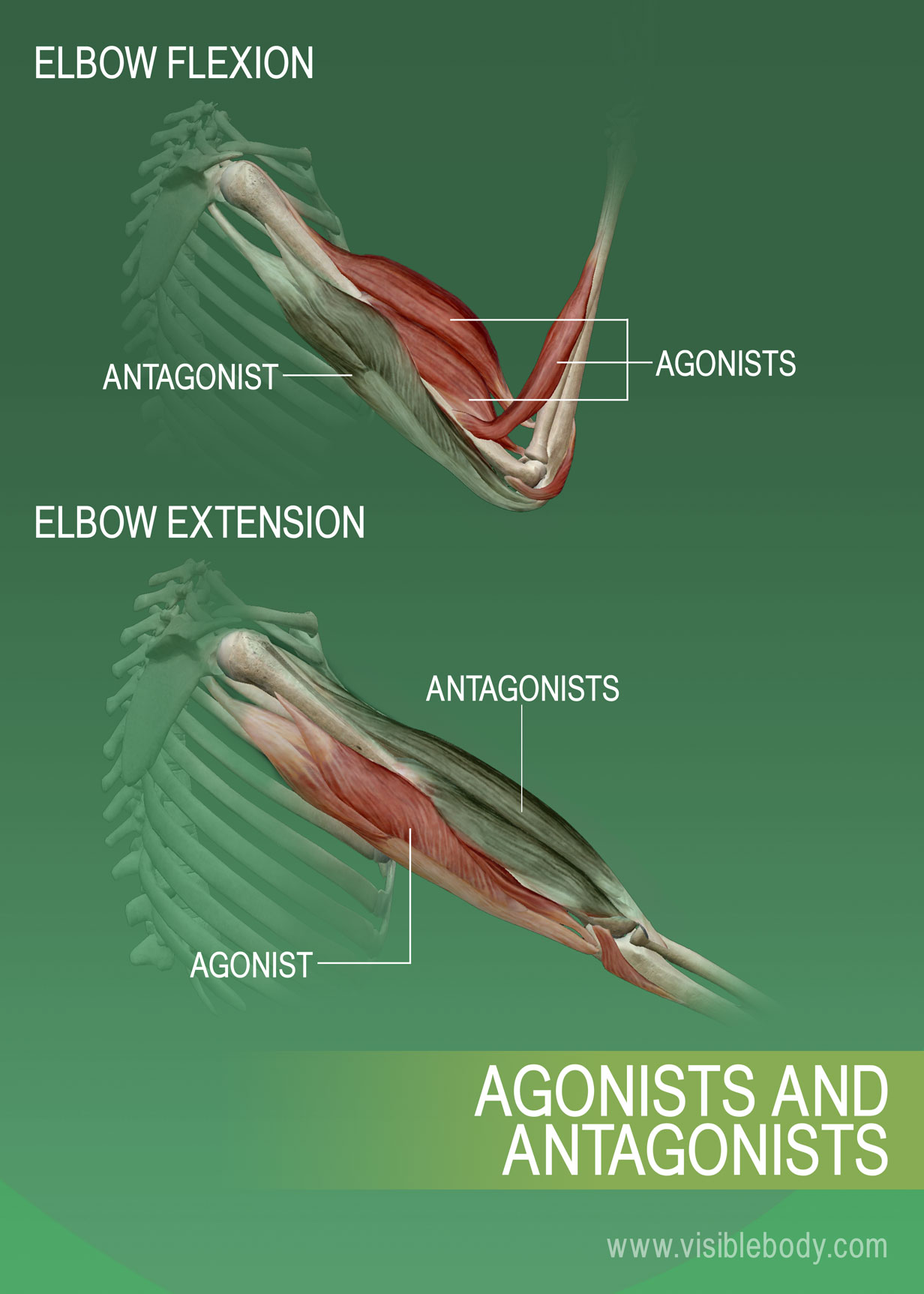 Agonists, antagonists, and synergists of muscles