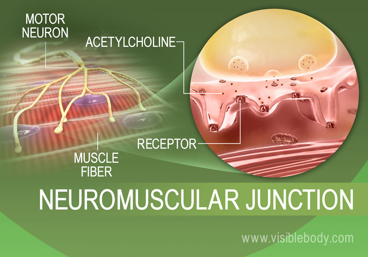 Muscle innervation process