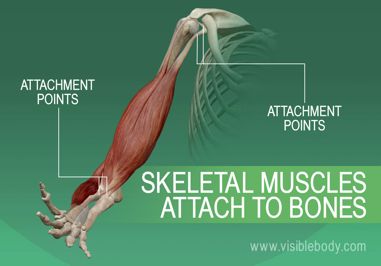 Muscular Overview   Learn Muscle Anatomy