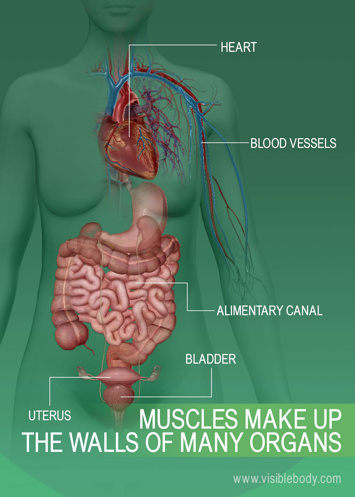 6C-Muscles-Make-Up-The-Walls-of-Many-Organs