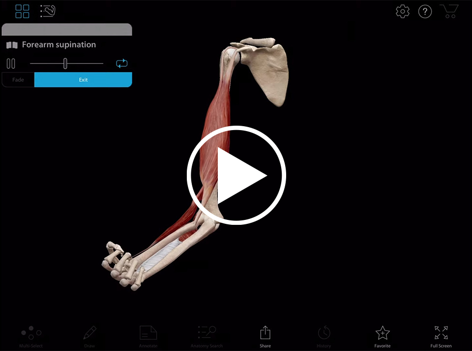 Forearm movement using Muscle Premium by Visible body