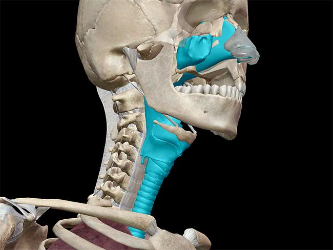 upper respiratory nasal trachea conchae