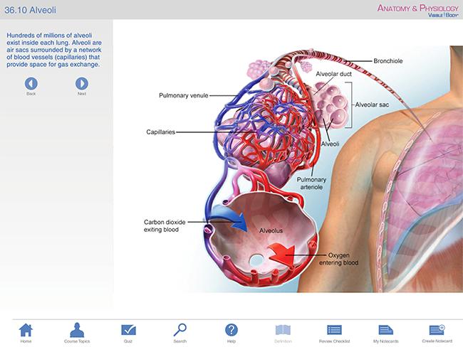 Anatomy and physiology gas exchange respiratory ap bronchi lungs bronchioles respiratory tree alveoli gas exchange ccuart Choice Image