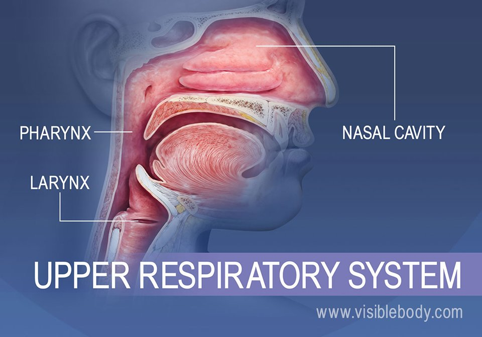 Overview of the upper respiratory system, the nasal cavity and throat