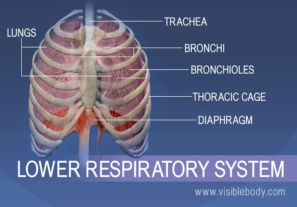 Structures of the lower respiratory system consist of trachea, bronchii, bronchioles, thoracic cage, lungs, and diaphragm