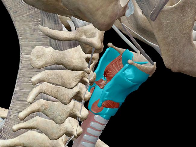 laryngeal skeleton larynx cartilage thyroid cricothyroid