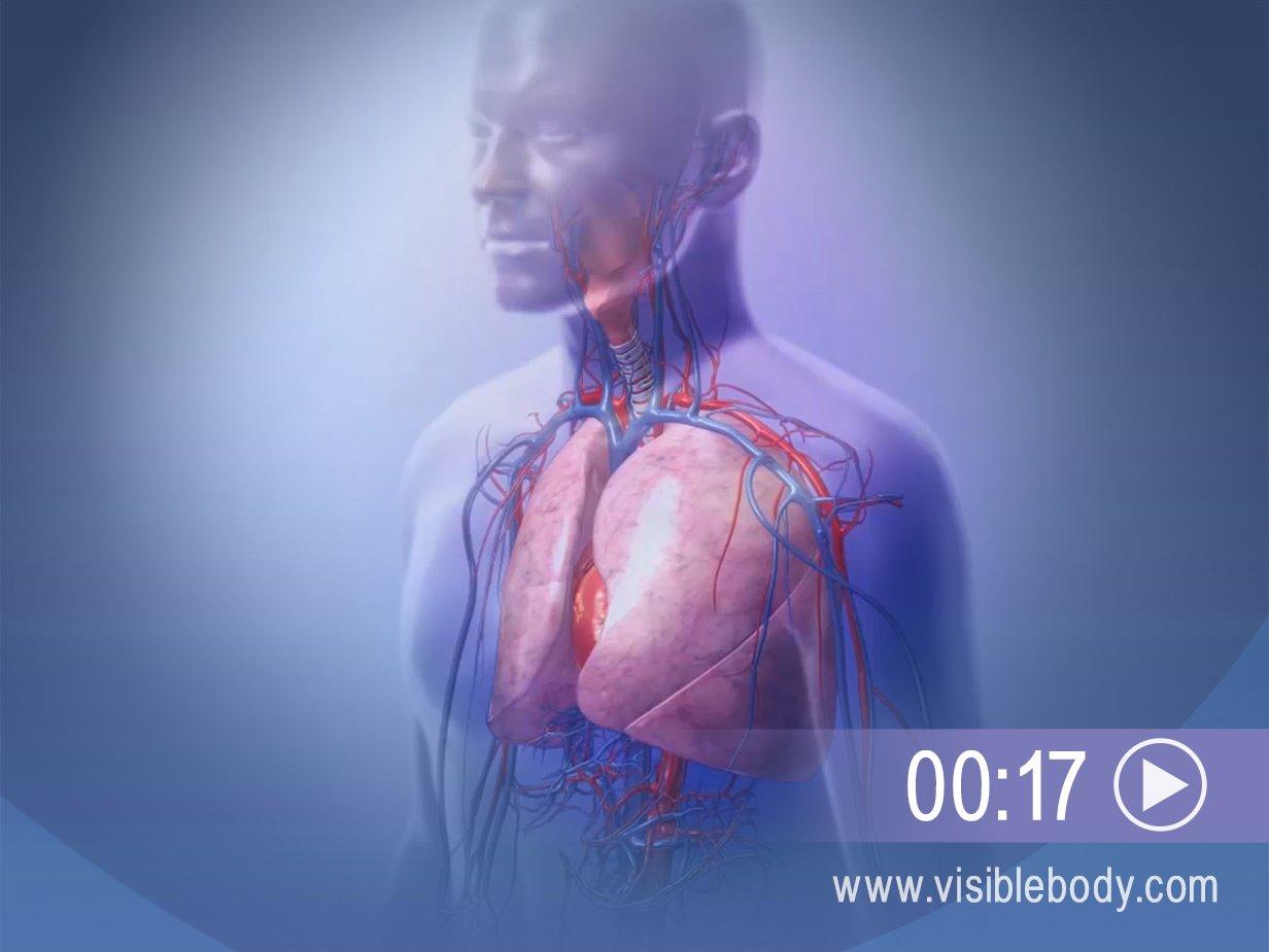 Lower Respiratory System