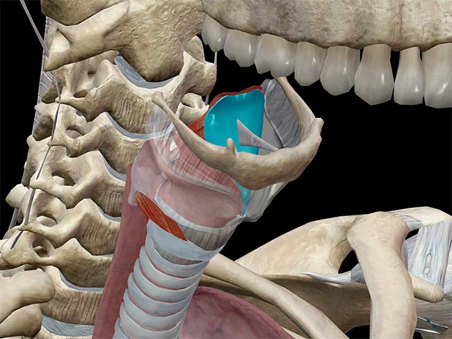 epiglottis glottis glottal larynx