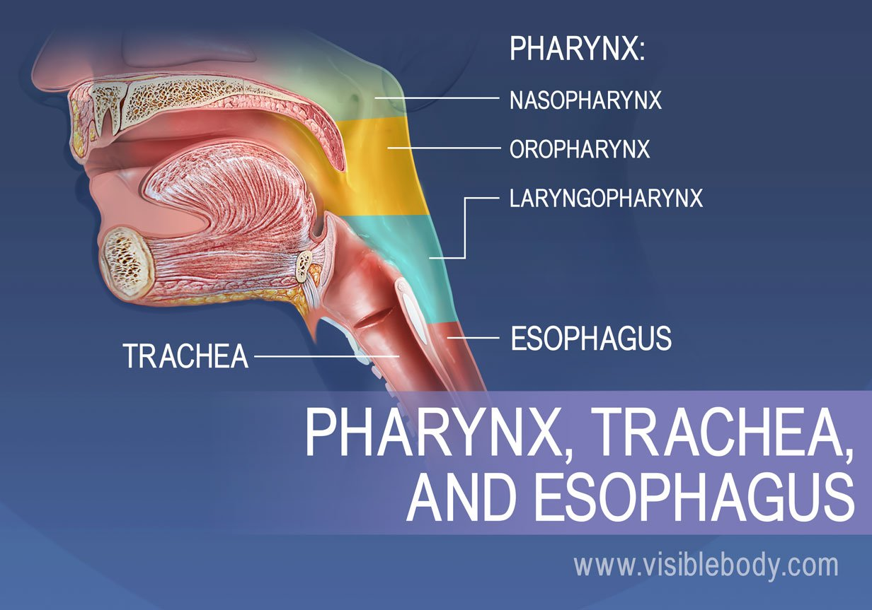 Regions of the pharynx can be broken into the nasopharynx, oropharynx, laryngopharynx