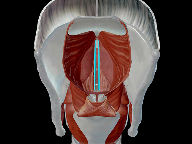 vocal ligaments larynx vocal cords voice sound production