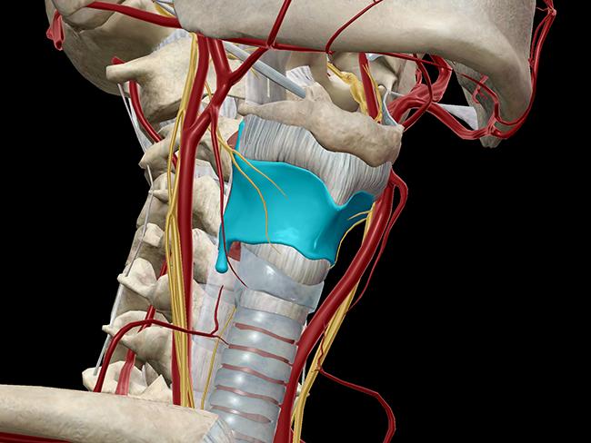 thyroid cartilage laryngeal skeleton larynx vocal cords