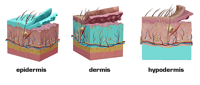 Anatomy and Physiology: Five Things About The Integumentary System