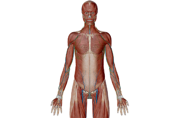 Anatomy And Physiology Anatomical Position And Directional Terms