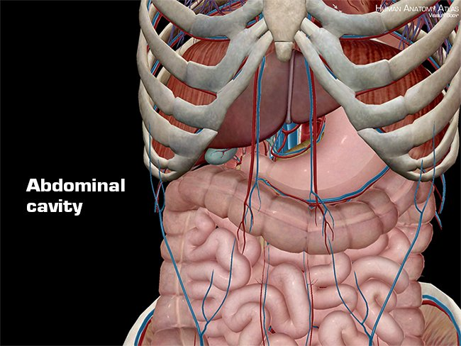 Anatomy And Physiology Anatomical Planes And Cavities