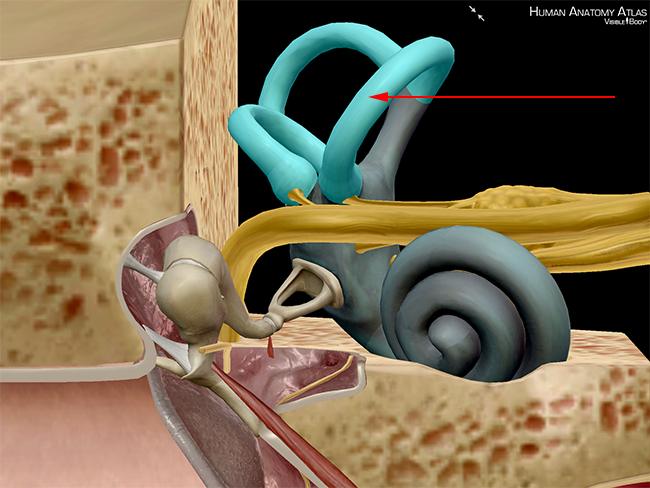 Five Cool Facts About The Middle And Inner Ear