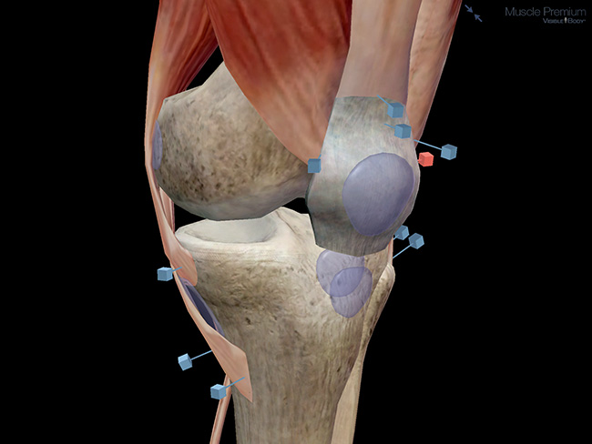 Knee joint bursae muscles patella