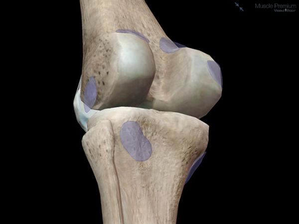 Bursae bone muscle joint resized 600