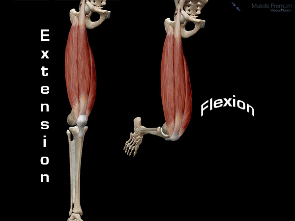 Knee flexion extension movement muscle action