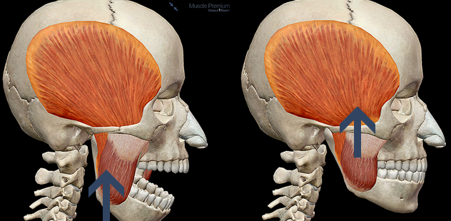 Mandible elevation temporalis deep masseter chewing mastication