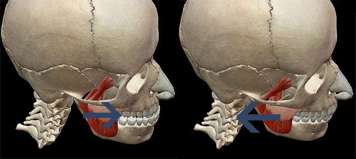 Mandible protraction superficial mastication muscles