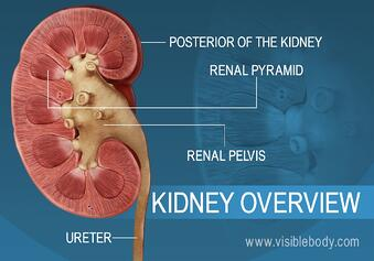 A cross section of the kidney showing the renal pelvis and pyramid structures