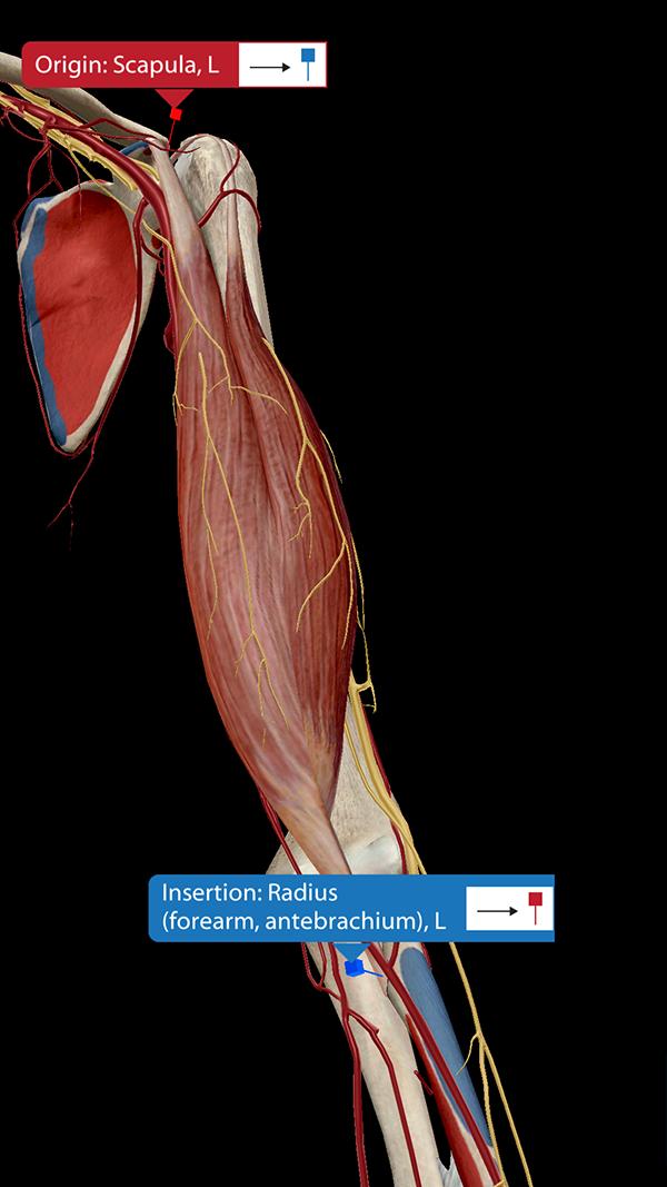 Biceps-brachii-innervation-blood-supply
