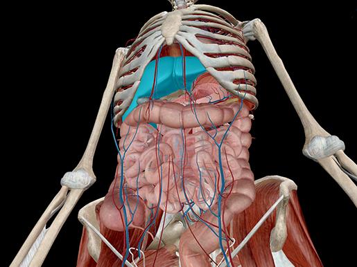 Liver-Accessory-Organs-Digestive-Anatomy