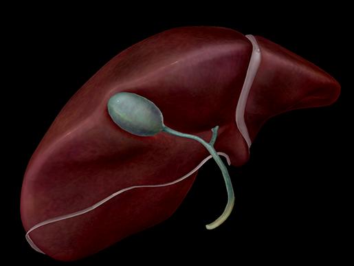 Liver-Gallbladder-Gall-Bile-Duct-Accessory-Organ-Digestive