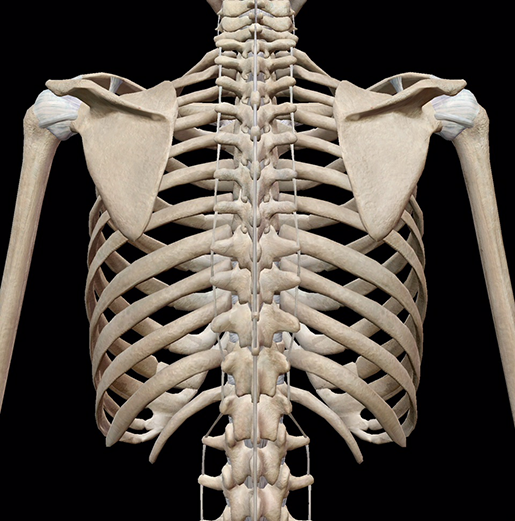 skeletal-system-thoracic-cage-back