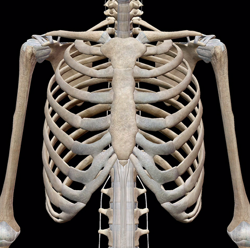 skeletal-system-thoracic-cage-front