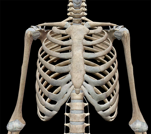 thoracic-cage-anterior-ribs