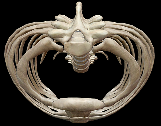 thoracic-cage-inside-space-cavity