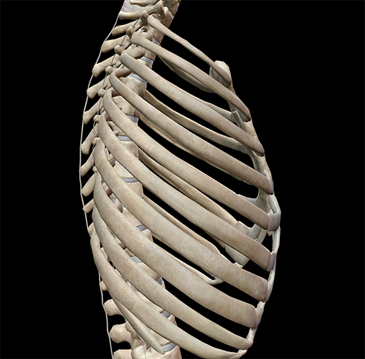 thoracic-cage-lateral-ribs-bone