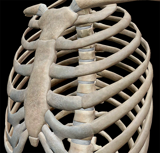 thoracic-cage-space-cavity