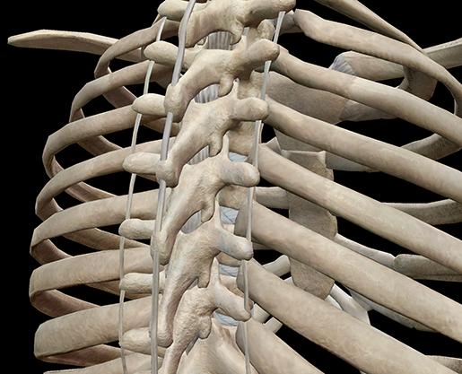 thoracic-cage-vertebrae-spine-ribs-posterior