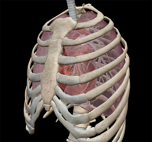 thoracic-cavity-lungs-fit-inside