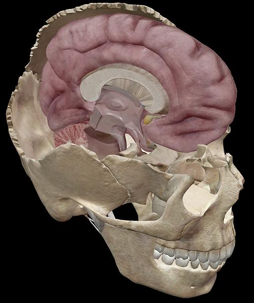brain-memory-skull-cerebrum