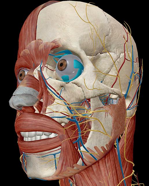 extraocular-muscle-eye-movement