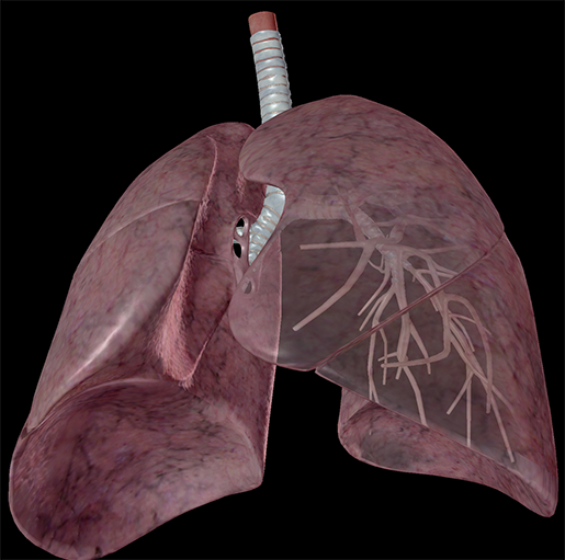 lungs-respiratory-system