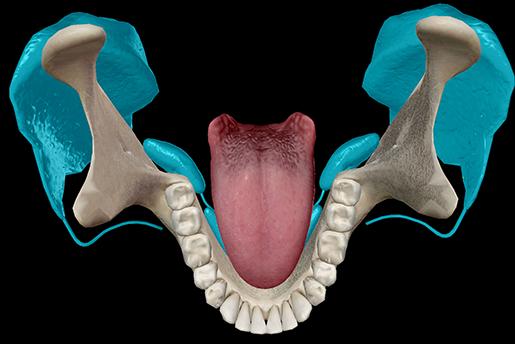 saliva-salivary-glands-mouth-tongue