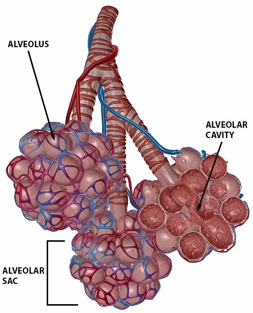 respiratory-gas-exchange-alveoli
