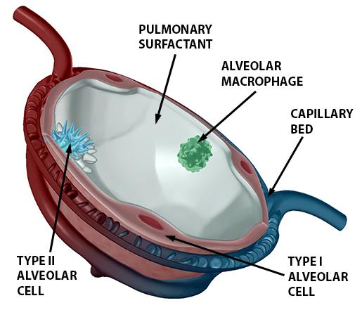 respiratory-gas-exchange-alveolus-alveolar-cells