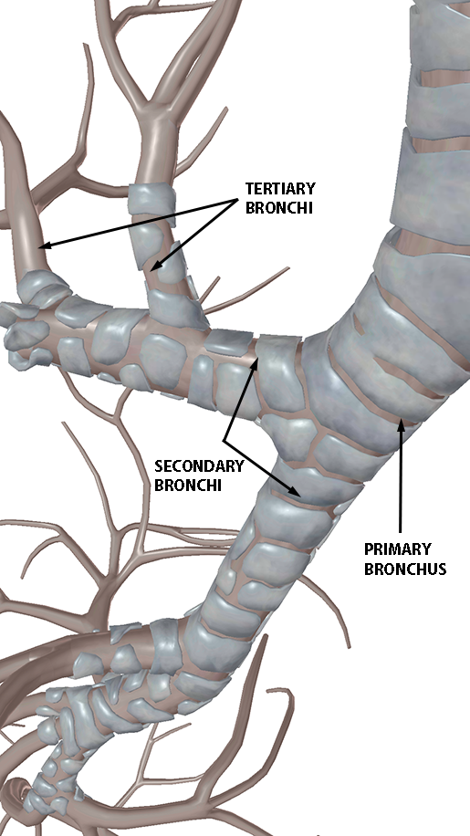 respiratory-gas-exchange-bronchi-zoom-in