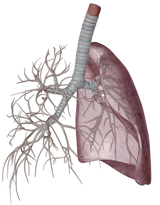 respiratory-gas-exchange-bronchi