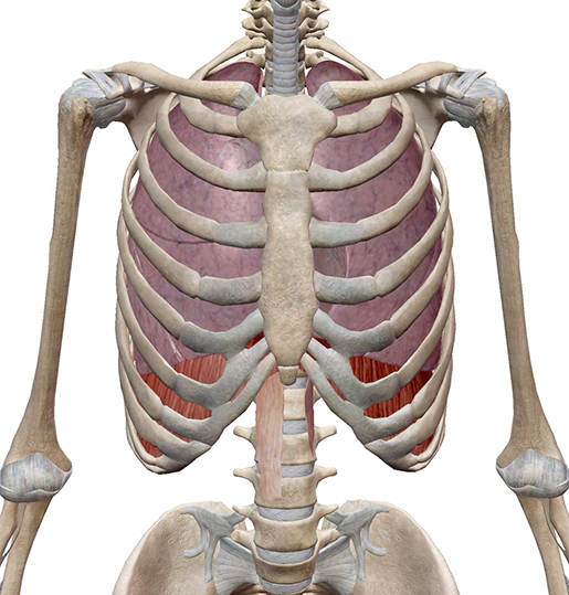 respiratory-gas-exchange-lungs-thoracic-cavity