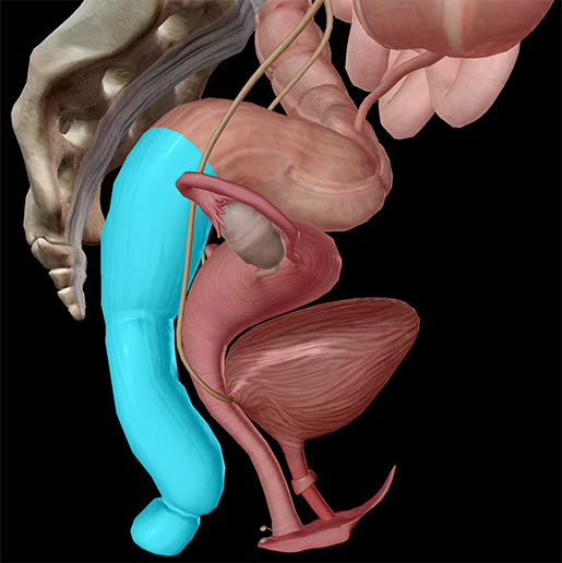 Digestive-System-Rectum-Anal-Canal-Lower
