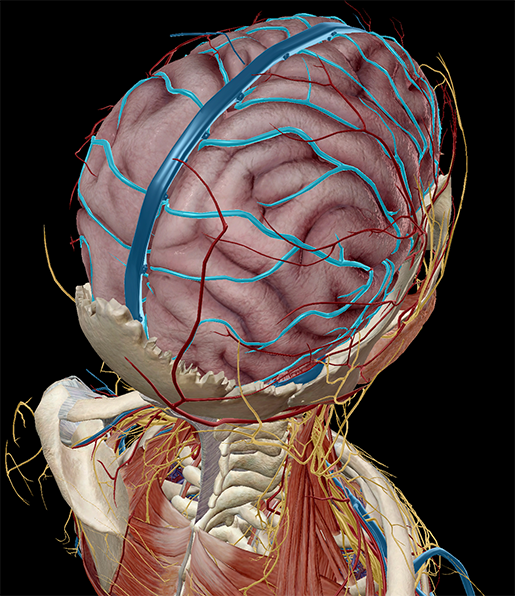 Brain Circulation Circle of Willis cerebral arterial circle anastomosis?width=515&name=Brain Circulation Circle of Willis cerebral arterial circle anastomosis anatomy and physiology the 3d human brain